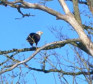 Bald Eagle the back yard