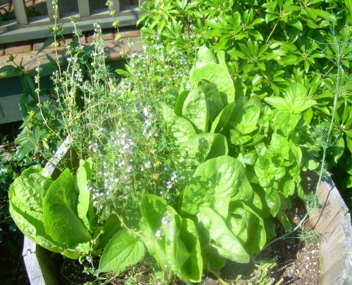 Herbs and Lettuce - Carrie  ©