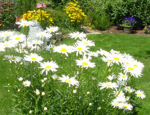 Daisies growing in my garden - Carrie  ©