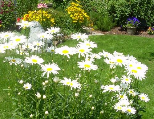 Daisies growing in my garden - Carrie  ©
