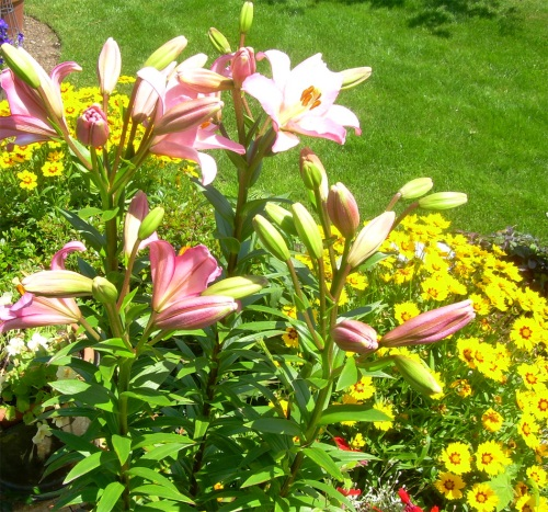 Stargazer Lilies and Coriopsis - Carrie  ©