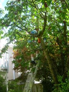 Up the Cherry tree